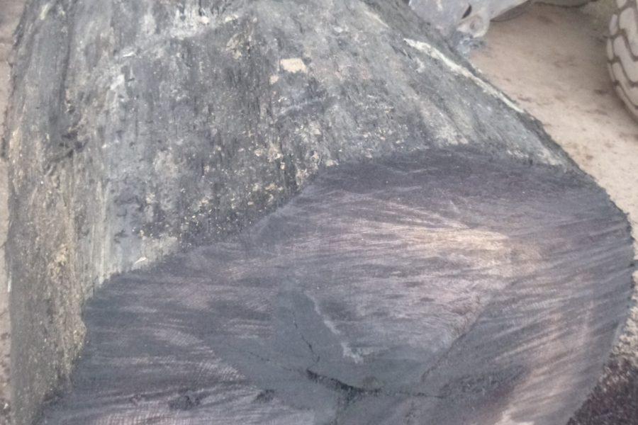 Fosilni hrast